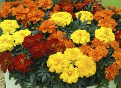 Kindergarden Plants Marigold French Fancy Mixed 20 Cell Plug Pack