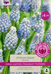 Muscari Ocean Magic 25 Pack - Taylors Bulbs