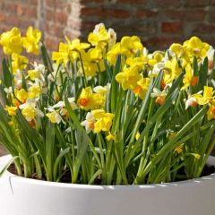 Narcissi Species Mixed 90 Pack - Taylor's Bulbs