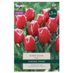 Tulip New Santa  - Taylor's Bulbs