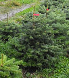 Needlefresh Nordman 150cm/180cm (5 - 6ft) Real Cut Christmas Tree