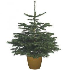 Needlefresh Nordman Pot Grown Christmas Tree 60/80cm