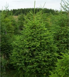 Needlefresh Norway 120cm/150cm (4-5ft) Real Cut Christmas Tree