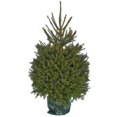 Needlefresh Norway Spruce Pot Grown Christmas Tree 100/125cm