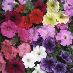 Kindergarden Plants Petunia Fantasia Mixed 20 Cell Plug Pack