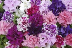 Kindergarden Plants Petunia Pirouette Mixed 20 Cell Plug Pack
