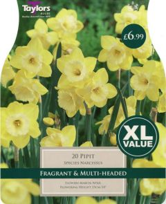 Narcissi Pipit 20 Pack - Taylors Bulbs