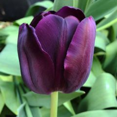 Tulip Queen Of Night 50 Pack - Taylor's Bulbs