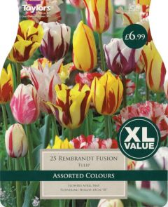 Tulip Rembrandt Fusion 25 Pack - Taylors Bulbs