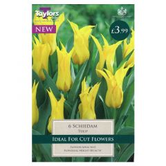 Tulip Schiedam  - Taylor's Bulbs