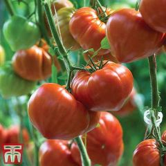 Tomato Gourmandia F1 - Thompson & Morgan