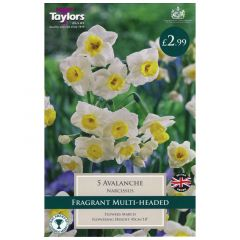 Narcissi Avalanche 5 Pack - GC-TAYLORS