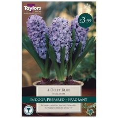 Indoor Hyacinth Delft Blue 3pk - GC-TAYLORS