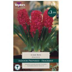 Indoor Hyacinth Jan Bos 3pk - GC-TAYLORS