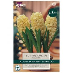 Indoor Hyacinth Cty Of Haarlem - GC-TAYLORS