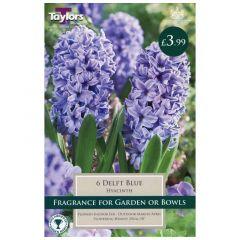 Garden Hyacinth Delft Blue 6pk - GC-TAYLORS