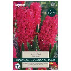 Garden Hyacinth Jan Bos 6pk - GC-TAYLORS