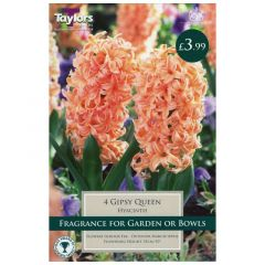 Hyacinth Gypsy Queen 4 Pack - GC-TAYLORS