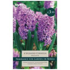 Hyacinth Splendud Cornelia 4pk - GC-TAYLORS