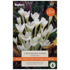 Colchicum Autumnale Album - GC-TAYLORS