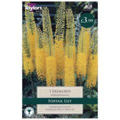 Eremurus Stenophyllus 1 Pack - GC-TAYLORS