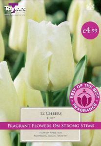 Tulip Cheers 12 Pack - Taylors Bulbs