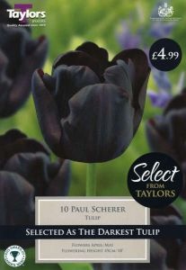 Tulip Paul Scherer 12 Pack - Taylors Bulbs