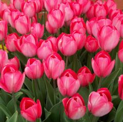 Tulip Van Eijk 70 Pack - Taylor's Bulbs