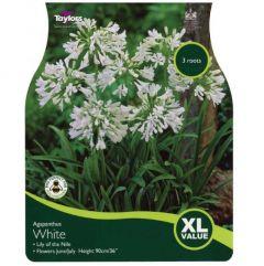 Agapanthus White - Taylors Bulbs