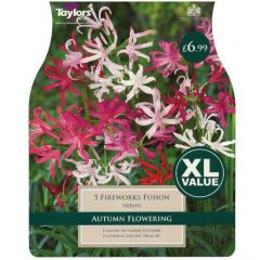 Nerine Fireworks Fusion 5 Pack - Taylors Bulbs