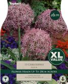 Allium Christophii XL Value - Taylors Bulbs