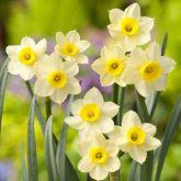 Beautiful Gardens Narcissus Minnow 25 Pack - Kapiteyn