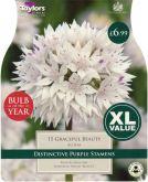 Allium Graceful Beauty 15 Pack - Bulb of the Year - Taylor's Bulbs