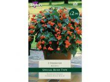 Begonia Firebush