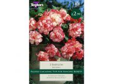 Begonia Babylon