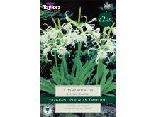 Hymenocallis Festalis (Ismene)