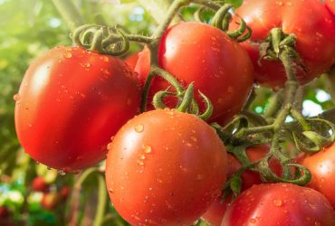 British-Tomato-Week-1440x480