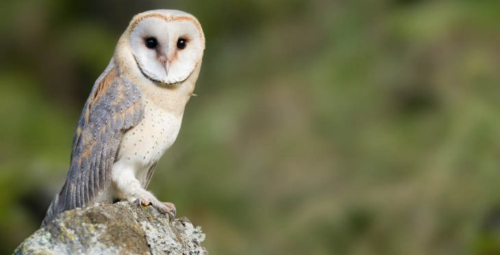Barn owl sitting on the rock, looking at lens, clean green background