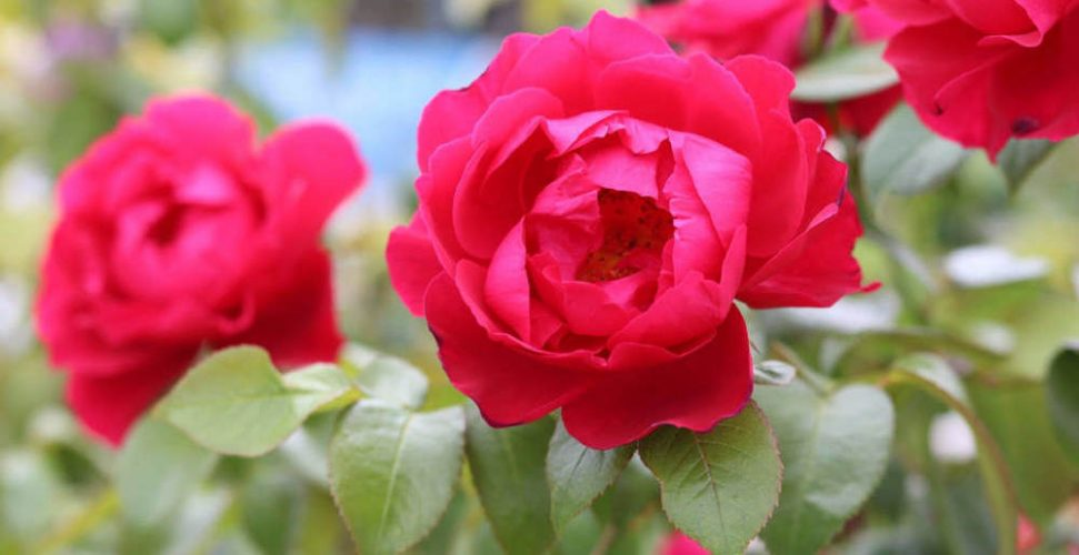 Buying Roses in Winter - A Guide For Customers
