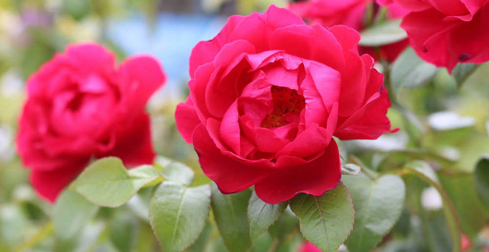 Plant of the Month - June - Roses