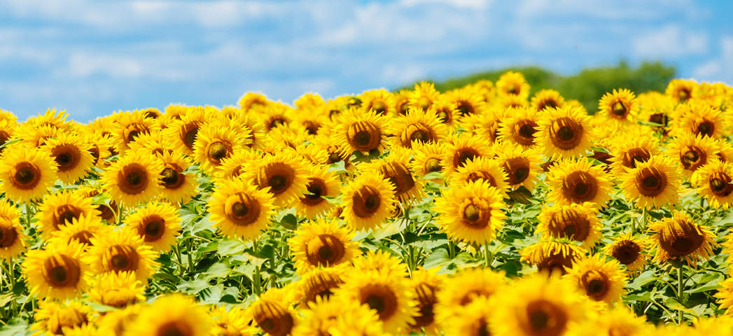 Plant of the Month - July - Sunflowers