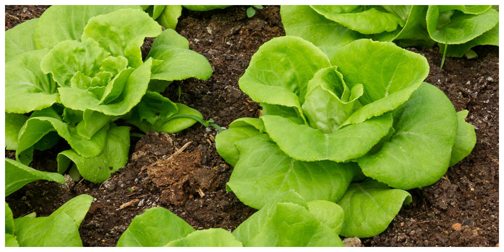 Grow Your Own Vegetables for a Winter or Spring Harvest