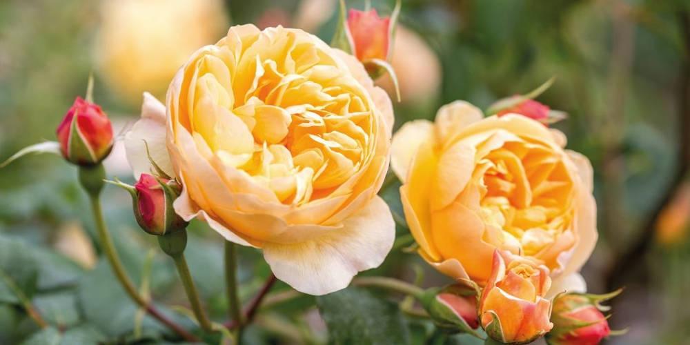 Focus on……Pruning Roses